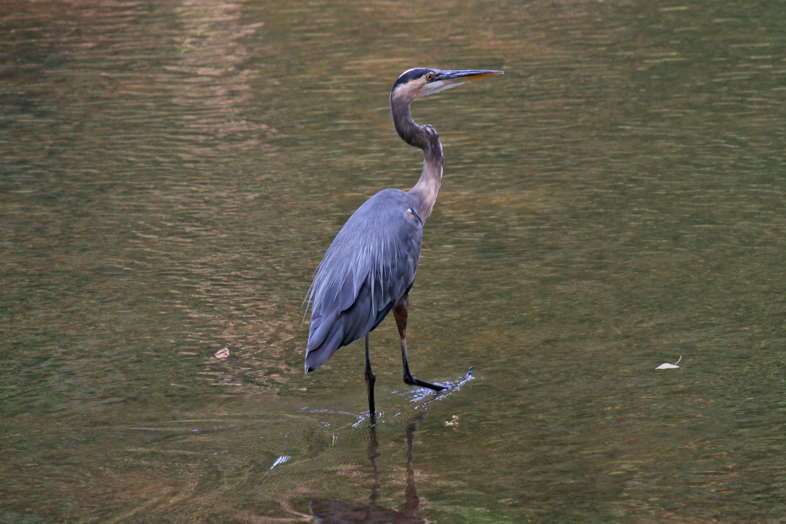 herons in indiana choice image